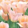Які бувають тюльпани? частина 1: перші 8 класів тюльпанів