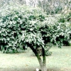 Які бувають види та різновиди дерев