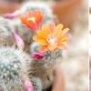 Кактуси: вибираємо по квітам