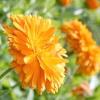 Календула лікарська / calendula officinalis