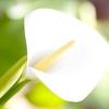 Калла болотна / calla palustris