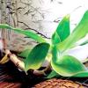 Каллісія запашна: умови утримання, догляд та розмноження
