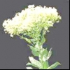 Кардара крупковая, перечнік крупковий (lepidium (cardaria) draba l.)