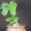 Карликовий кава аравійська