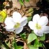 Кислиця звичайна (oxalis acetosella)