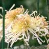 Китайські хризантеми - чарівність старовини