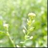 Блощичник сміттєвий (lepidium ruderale l.)