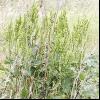 Щавель кінський (rumex confertus willd.l.)