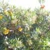 Полуничне дерево
