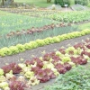 Коли краще починати посадку овочів на городі