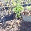 Коли починати прибирання картоплі, і чим її краще копати - лопатою або мотоблоком?