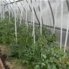 Коли підв'язувати розсаду помідор в теплиці