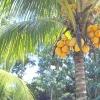 Кокосова пальма в домашніх умовах