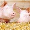 Комбікорм, біодобавки, премікси - відгодівля свиней для отримання якісної свинини
