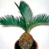 Кімнатна пальма цикас або саговник