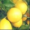 Кімнатна рослина дерево лимон в домашніх умовах