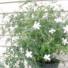 Кімнатний жасмин не цвіте? терміново рятуємо рослина!