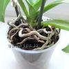Коріння орхідеї