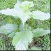 Кропива пекуча (urtica urens l.)