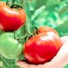 Великоплідні томати: сорти та гібриди