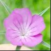 Кукіль звичайний (agrostemma githago l.)
