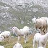 Курдючні вівці, тексель, Дорпер - всі породи хороші, вибирай на смак!