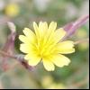 Латук дикий, компасний (lactuca serriola l.)