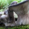 Лікування грибами, глива устрична, опеньок зимовий