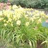 Літній диво - лилейник гібридний