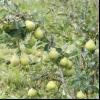 Літні сорти груш