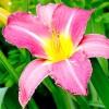 Лилейник: сорти з квітами незвичайної форми