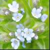 Липучка ежевідная (lappula squarrosa (retz.) Dumort)