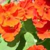 Листя і квітки настурції
