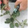Будь-який сорт троянди з живців. декілька способів.