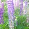 Люпин - квітка для радості, коріння для оздоровлення грунту.