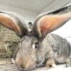 Кращі породи кролів для розведення в домашніх умовах