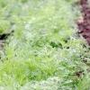 Кращі сорти кропу для вирощування на грядці, в теплиці або будинку