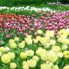 Цибулинні в ландшафтному дизайні саду