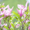 Магнолія / magnolia