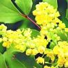 Магонія падуболистная / mahonia aquifolium