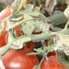 Макроспоріоз картоплі і томатів