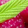 Малина краса росії та інші високоврожайні сорти для помірної кліматичної зони