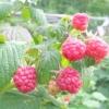 Малина: сорти, особливості вирощування та догляду, профілактика хвороб і боротьба з шкідниками.