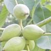 Маньчжурський горіх: посадка, вирощування і догляд
