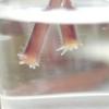 Мініатюрні сенполії: розмноження