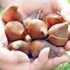 Багатоквіткові тюльпани: вирощуємо правильно