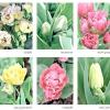 Багатоквіткові тюльпани