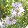 Монарда дудчаста - пряність з цитрусовим ароматом