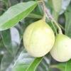 Мускатник запашний або дерево мускатного горіха