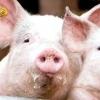 Мускусна свиня та інші популярні породи для домашнього свинарства